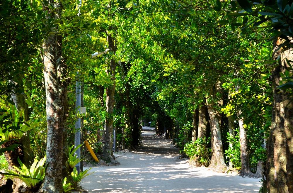沖縄本島北部 本部町 備瀬のフクギ並木