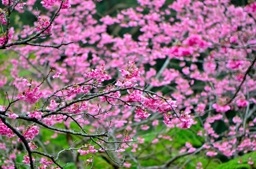 南国特有のカンヒザクラ 八重岳桜の森公園