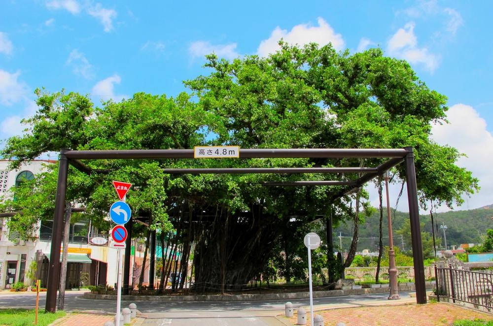 国指定天然記念物 名護市のひんぷんガジュマル